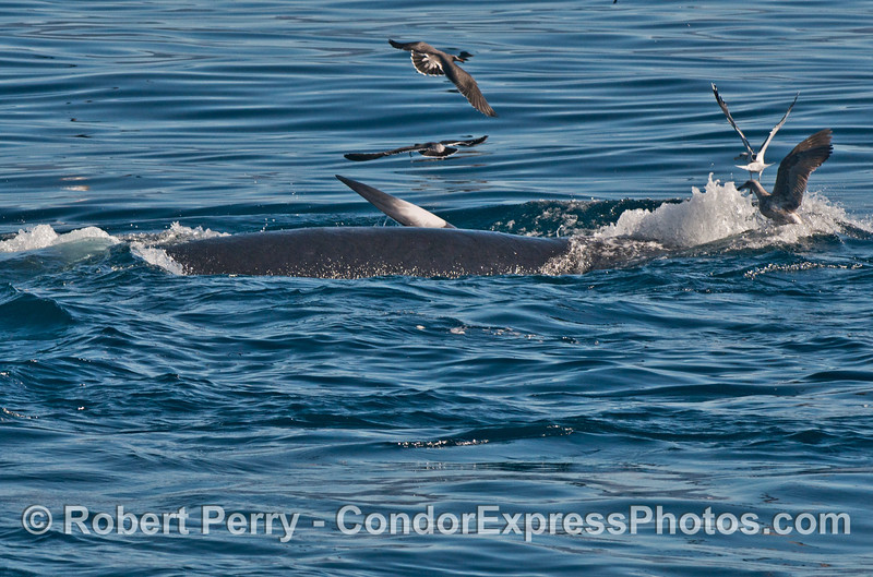 A surface lunge feeding Minke whale (<em>Balaenoptera acutorostrata</em>) .