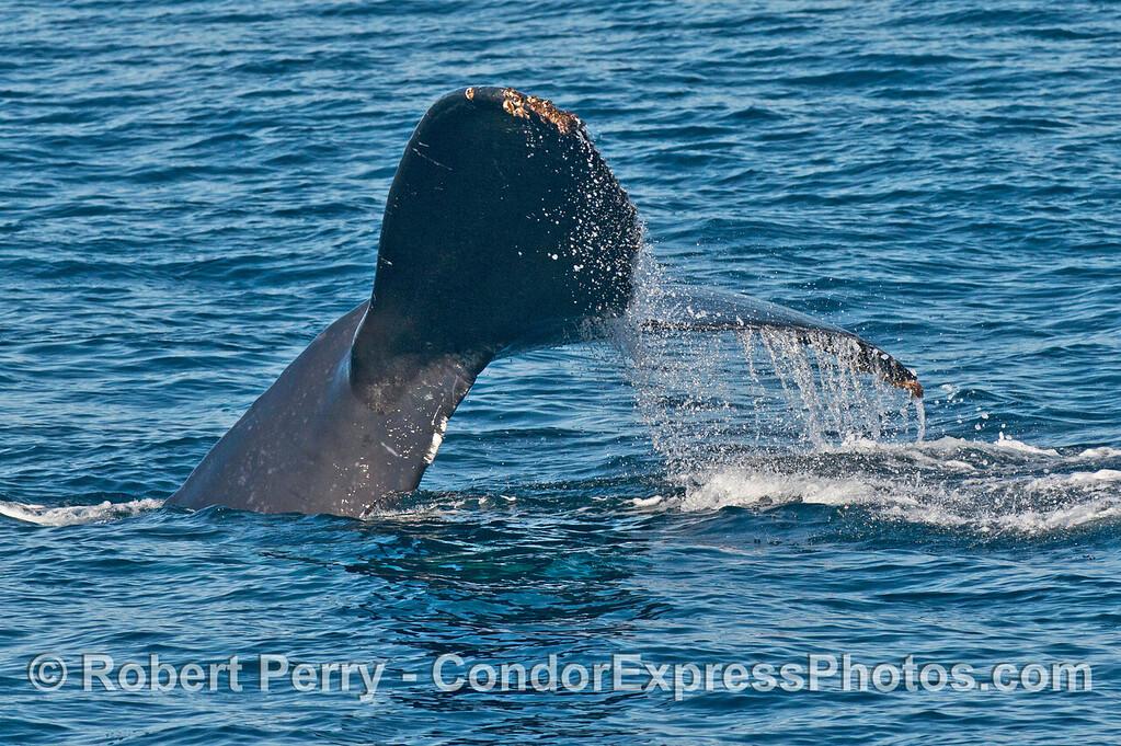 Humpback whale (<em>Megaptera novaeangliae</em>) tail fluke.