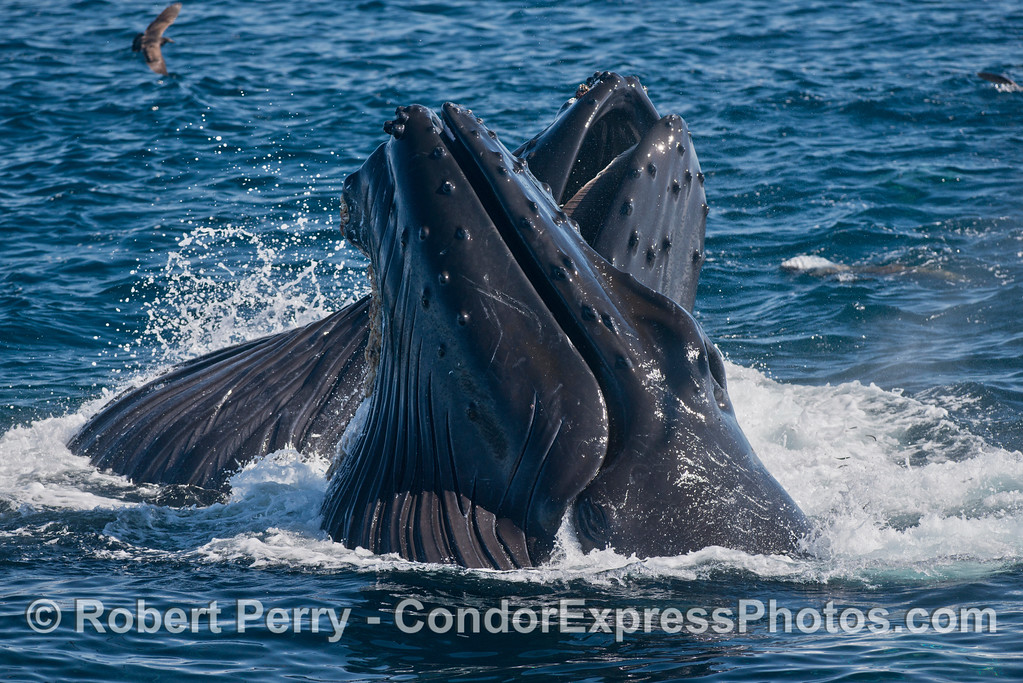 Criss cross - Two vertical lunge feeding humpback whales (<em>Megaptera novaeangliae</em>).