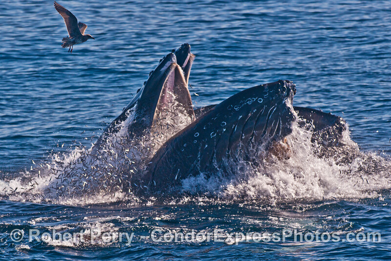 Two vertical lunge feeding humpback whales (<em>Megaptera novaeangliae</em>) with thousands of anchovies trying to escape.