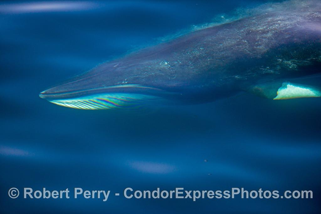 Underwater  portrait of a Minke whale (<em>Balaenoptera acutorostrata</em>) .