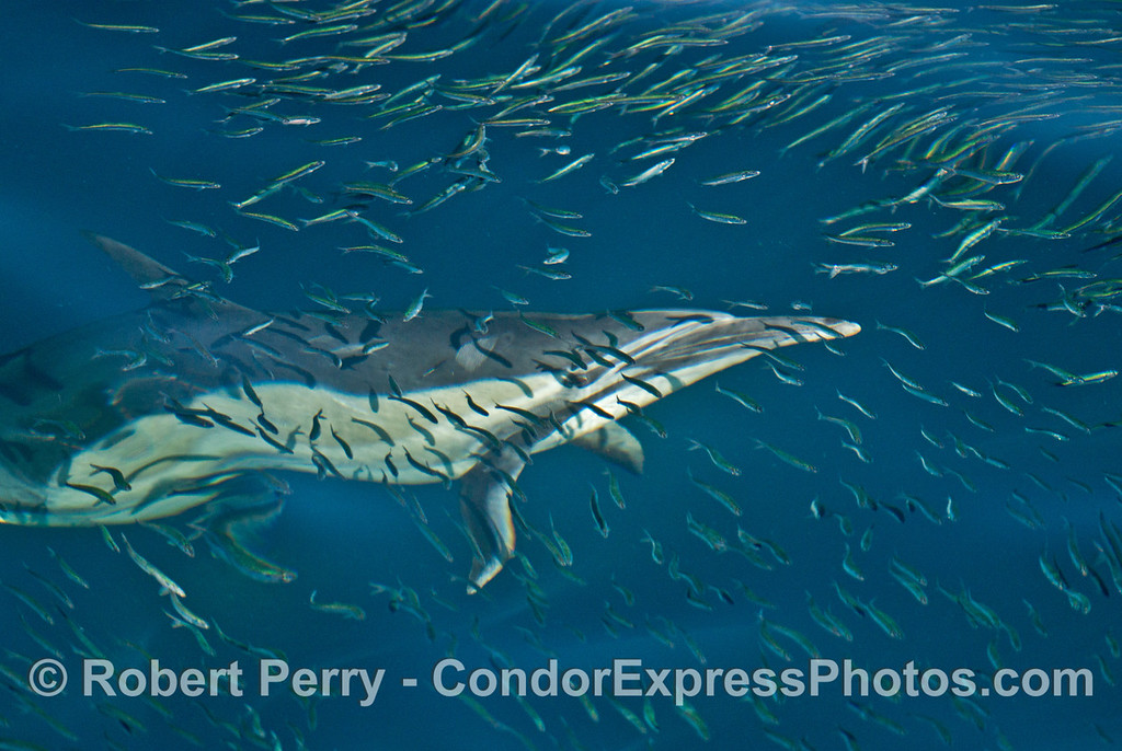 Predator and prey:  here we see a long beaked common dolphin (<em>Delphinus capensis </em>) swimming beneath a massive school of northern anchovies (<em>Engraulis mordax</em>) perhaps keeping an eye on a favorite morsel?