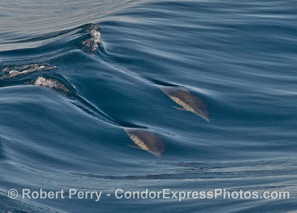 Two surfing a long beaked common dolphins (<em>Delphinus capensis </em>).
