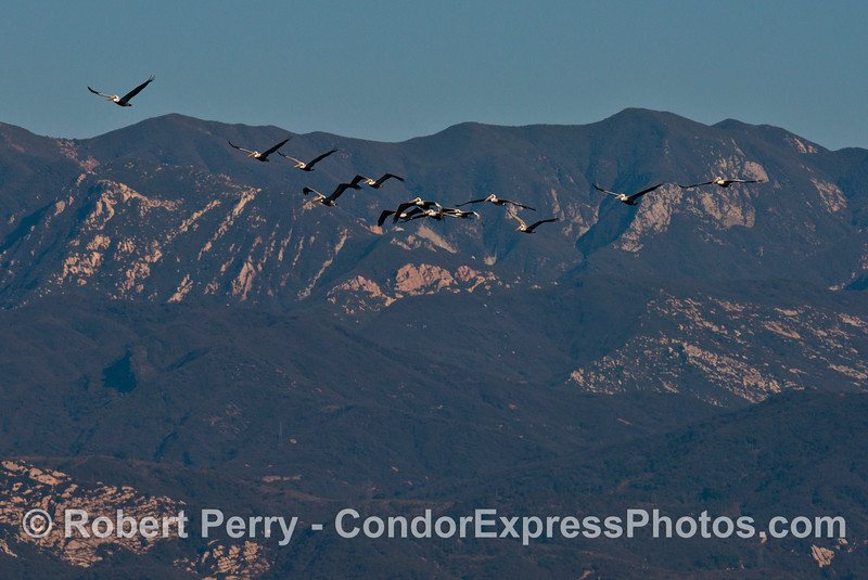 The Santa Ynez mountains with a flock of high flying brown pelicans (<em>Pelecanus occidentalis</em>).