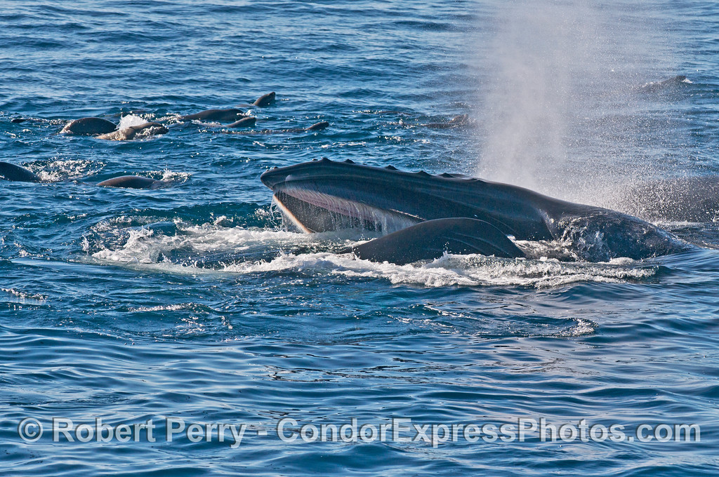 California sea lions (<em>Zalophus californianus</em>) surround a surface lunge feeding humpback whale (<em>Megaptera novaeangliae</em>)