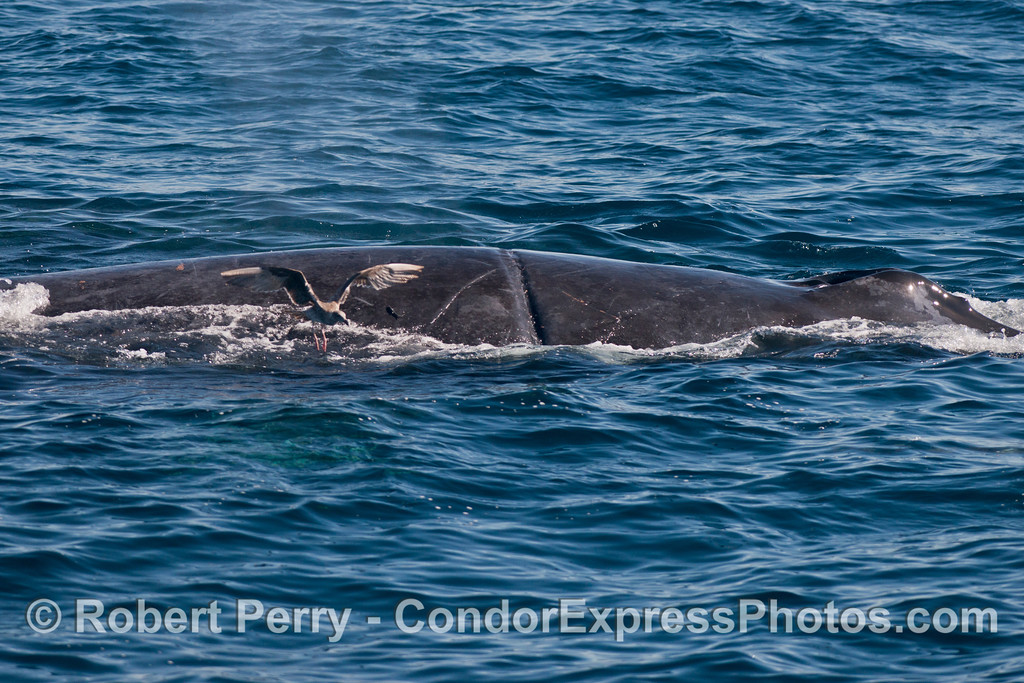 "A newly observed humpback whale (<em>Megaptera novaeangliae</em>) with an entanglement scar similar to our old friend ""Rope.""  We call this smaller whale ""Rope Junior."""