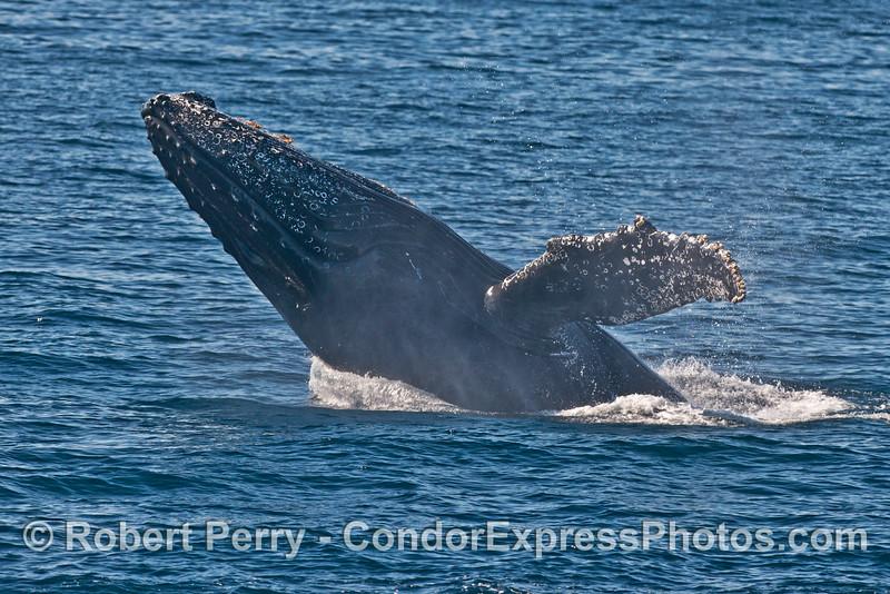 Image 2 of 3 in a sequence: a breaching humpback whale (<em>Megaptera novaeangliae</em>) .