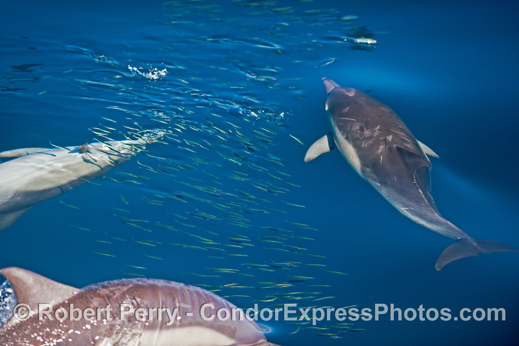A pod of long beaked common dolphins (<em>Delphinus capensis </em>) attacks a school of northern anchovies (<em>Engraulis mordax</em>).