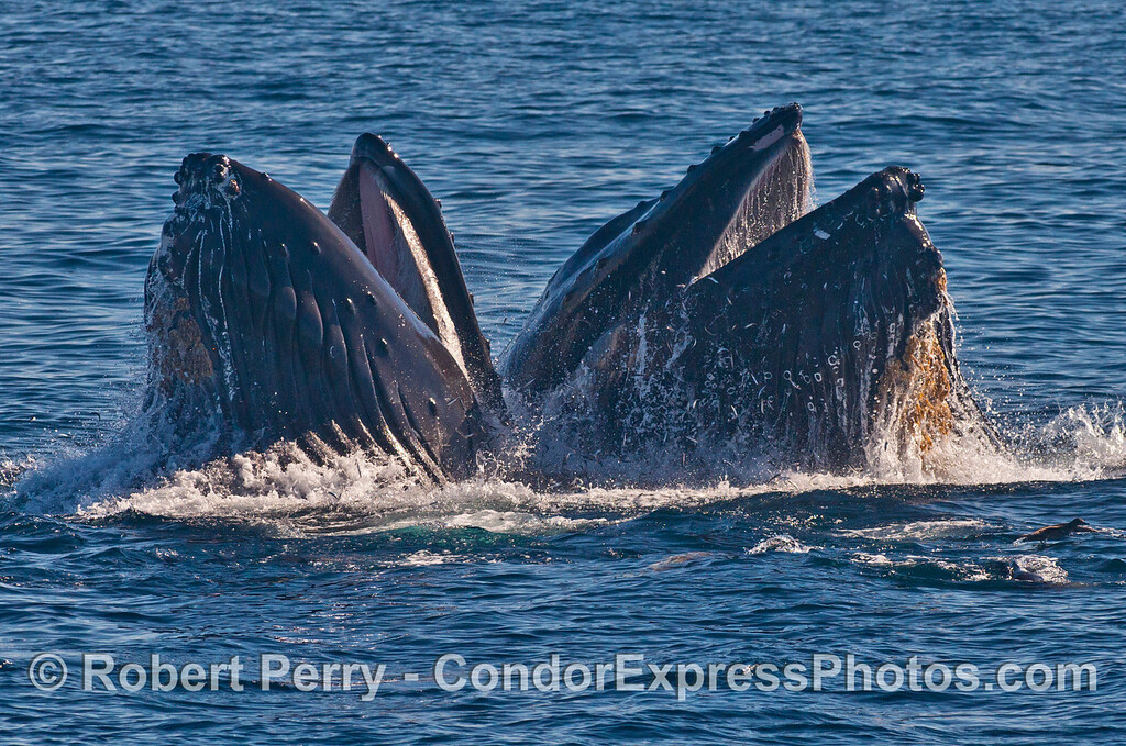 Two vertical lunge feeding humpback whales (<em>Megaptera novaeangliae</em>).