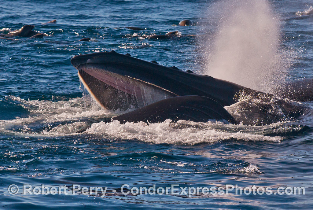 Another look at a surface lunge feeding humpback whale (<em>Megaptera novaeangliae</em>)
