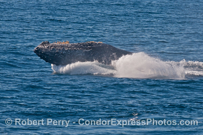 Image 3 of 3 in a sequence: a breaching humpback whale (<em>Megaptera novaeangliae</em>) .