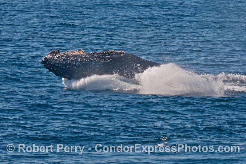 Image 3 of 3 in a sequence: a breaching humpback whale (<em>Megaptera novaeangliae</em>) .