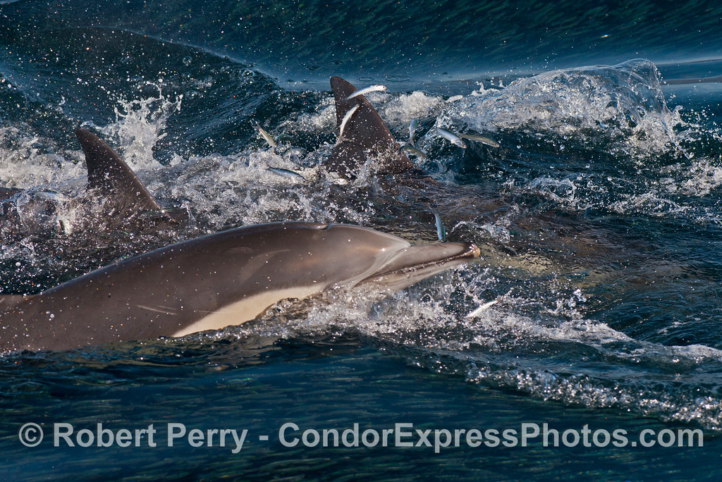 A pack of hungry long beaked common dolphins (<em>Delphinus capensis </em>) attacks a school of northern anchovies (<em>Engraulis mordax</em>).