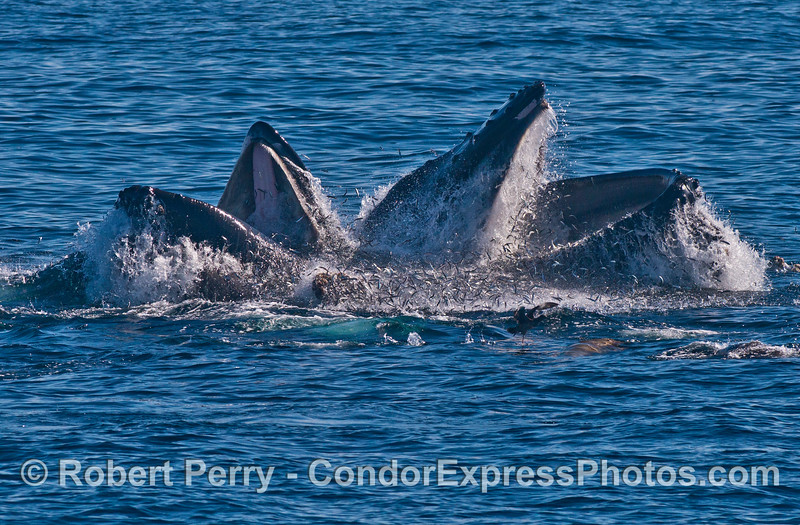 Thousands of anchovies flee as two vertical lunge feeding humpback whales (<em>Megaptera novaeangliae</em>) gulp them down.  Note the sea lion right in the middle of the anchovies.