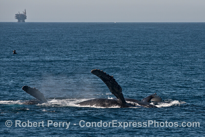 Two humpback whales (<em>Megaptera novaeangliae</em>) seen rolling around on the surface.