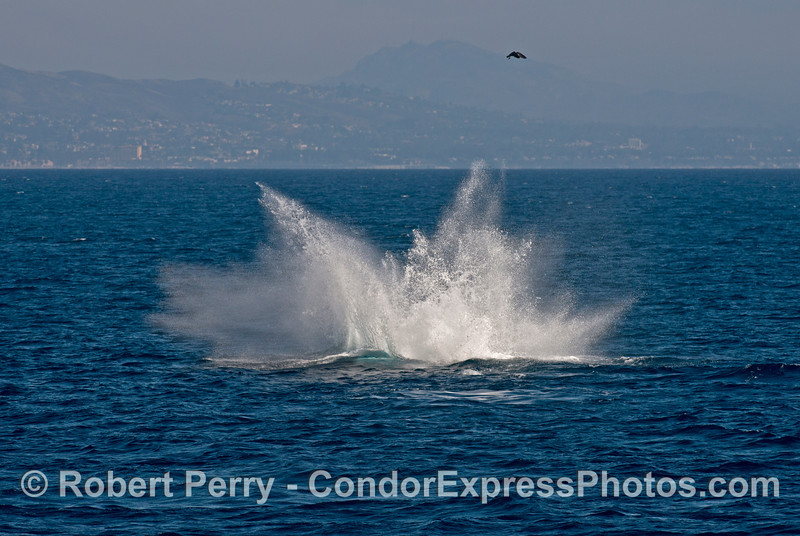 A humpback whale (<em>Megaptera novaeangliae</em>) tail throw leaves a thunderous explosion of spray.