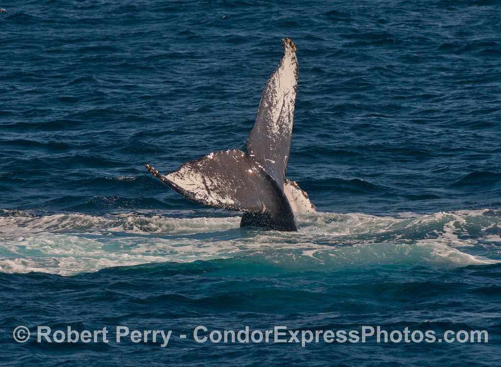 A humpback whale (Megaptera novaeangliae) tail throw.