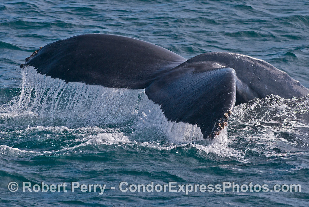 Humpback whale (<em>Megaptera novaeangliae</em>) tail flukes waterfall.