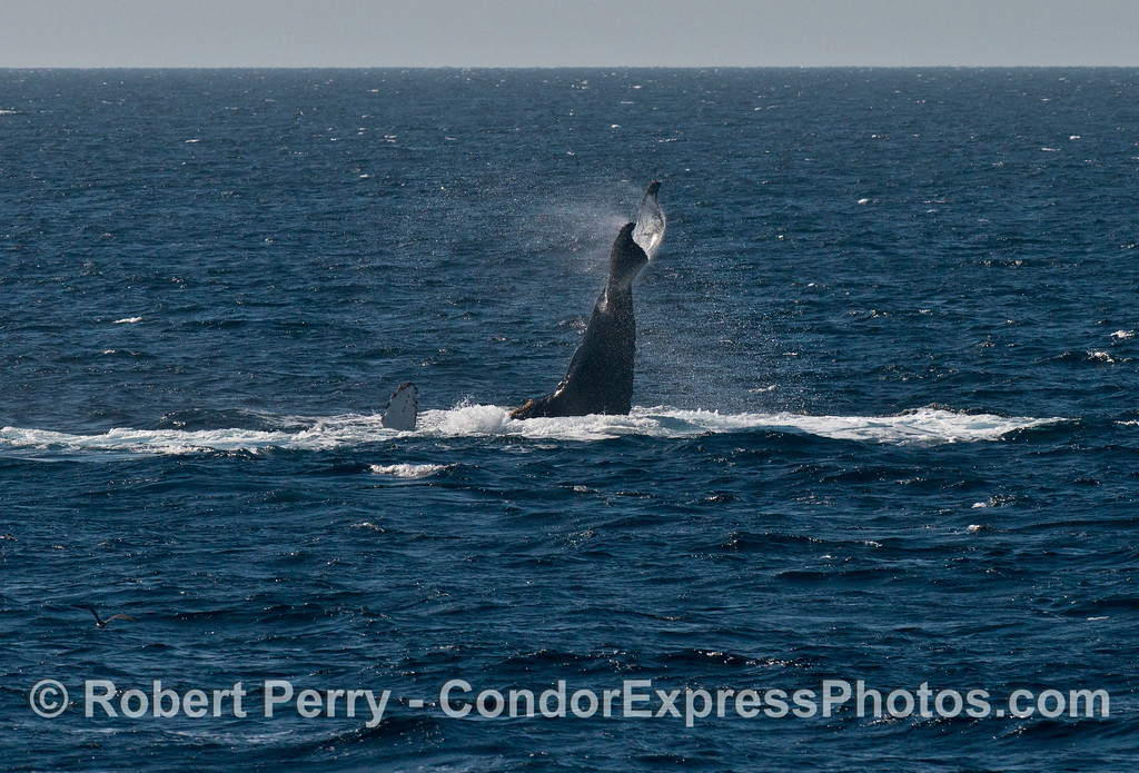 A humpback whale (<em>Megaptera novaeangliae</em>) tail throw.