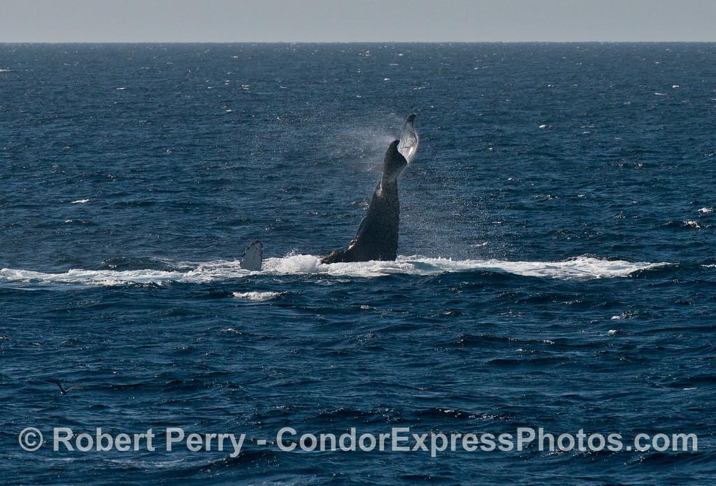 A humpback whale (<em>Megaptera novaeangliae</em>) tail throw.
