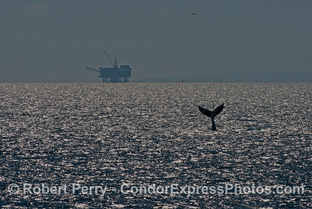 A humpback whale (<em>Megaptera novaeangliae</em>) throws its tail in the sparkling sunlight with oil Platform Grace in the background.