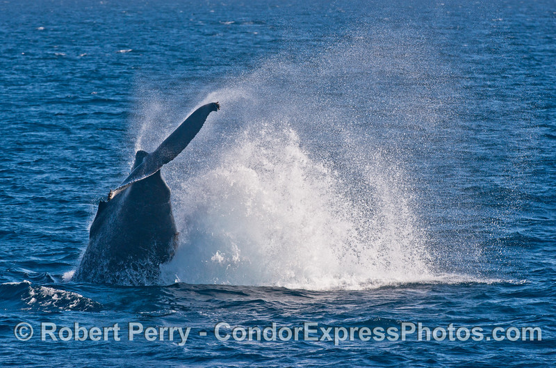 A powerful tail throw by a very active humpback whale (<em>Megaptera novaeangliae</em>).