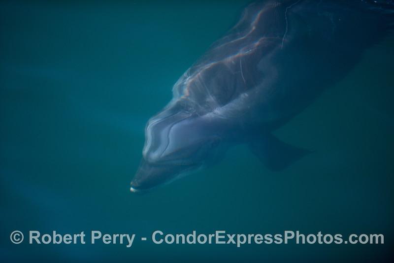 An underwater look at a diving bottlenose dolphin (<em>Tursiops truncatus</em>).