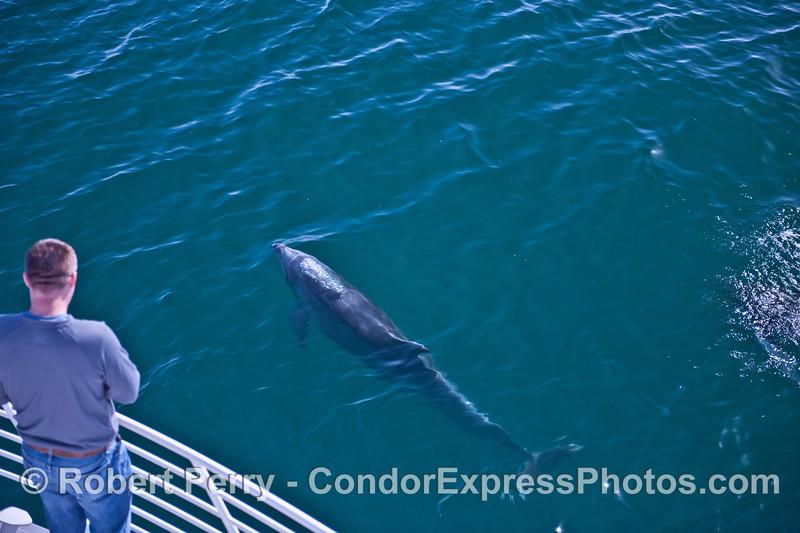A friendly bottlenose dolphin (<em>Tursiops truncatus</em>).