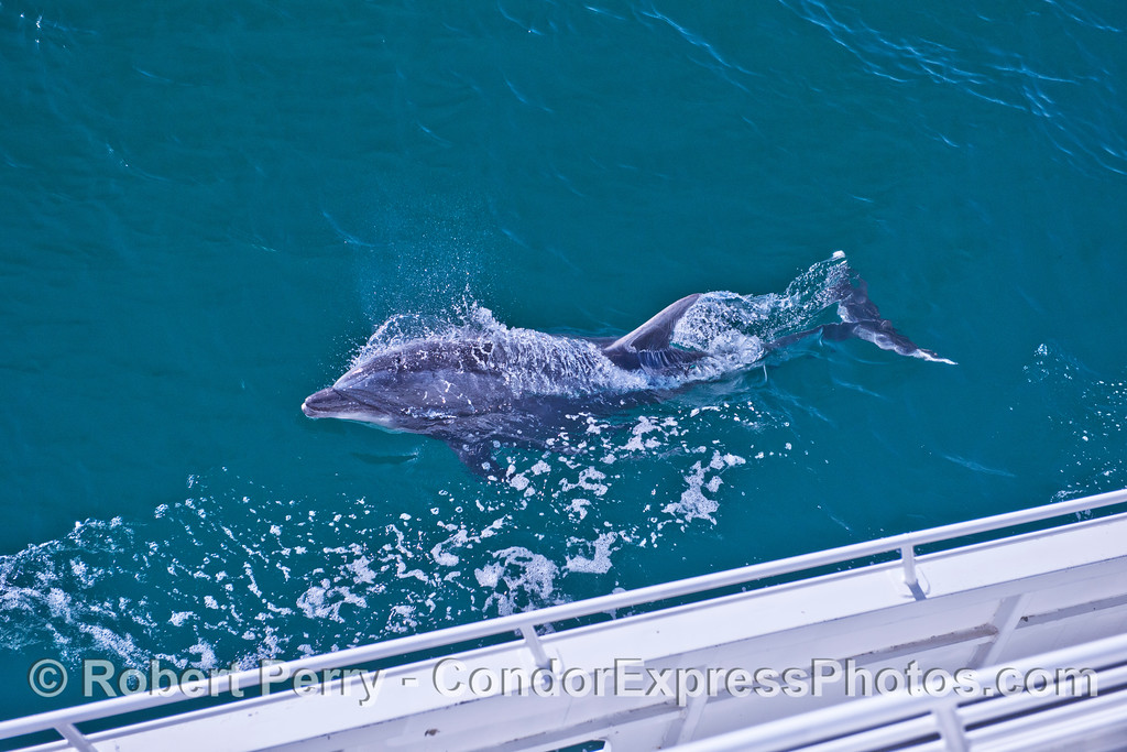 A large bottlenose dolphin (<em>Tursiops truncatus</em>) rides alongside the Condor Express.