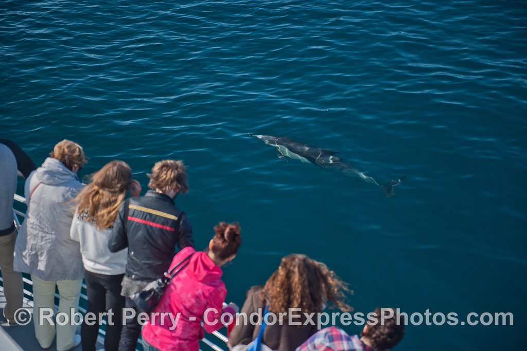 A common dolphin (<em>Delphinus capensis</em>) comes over to greet the people.