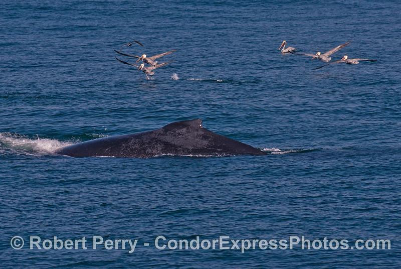 A humpback whale (<em>Megaptera novaeangliae</em>) scares off a group of brown pelicans.