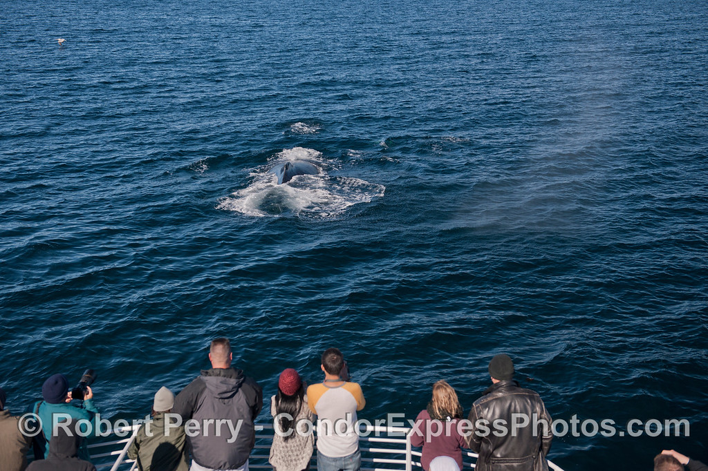 Here we see a bold humpback whale (<em>Megaptera novaeangliae</em>) surface right smack in front of the Condor Express bow.
