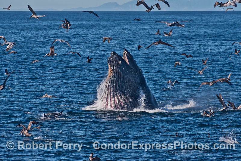 A humpback whale (<em>Megaptera novaeangliae</em>) lunge high out of the water with its ventral groove blubber expanded and full of fish.