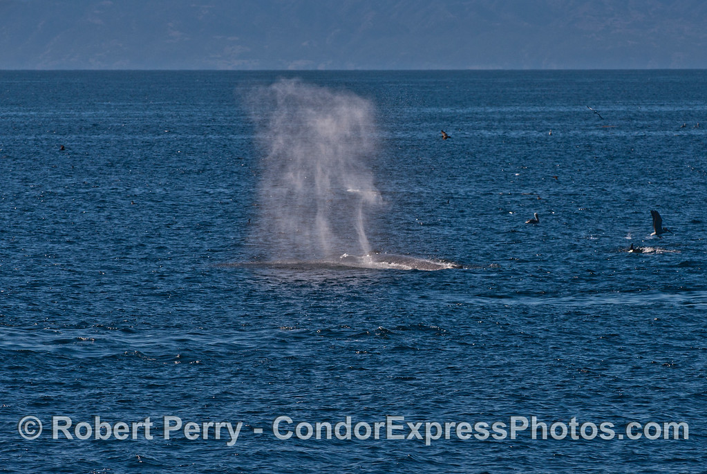A balmy day with very light breezes causes the tall spout of this humpback whale (<em>Megaptera novaeangliae</em>) to hang in the air.
