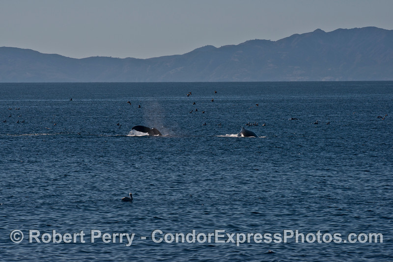 Two humpback whales (<em>Megaptera novaeangliae</em>) feeding with a few birds and Anacapa Island in the background.