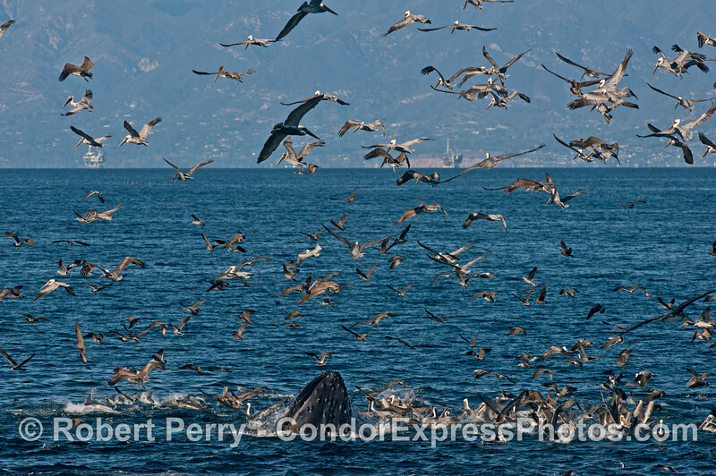 Seabirds and a humpback whale (<em>Megaptera novaeangliae</em>) - rounding out an oceanic hot spot.