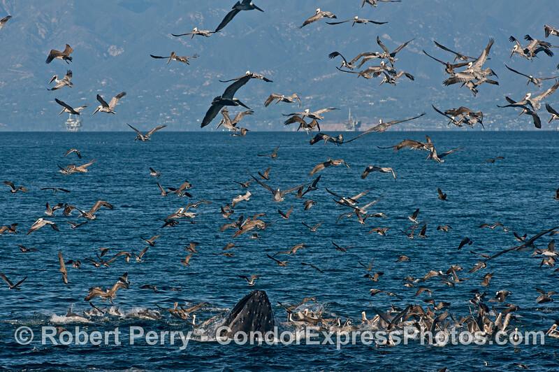 Seabirds and a humpback whale (<em>Megaptera novaeangliae</em>) - rounding out an oceanic hot spot.