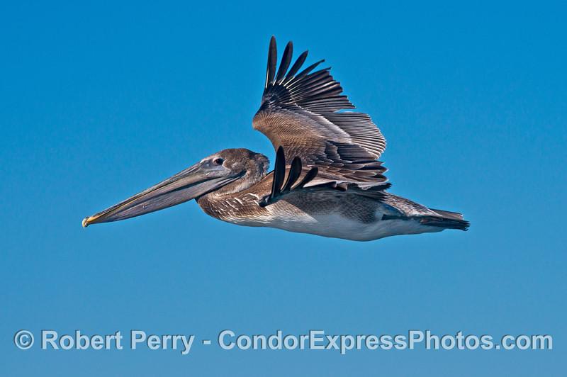A young brown pelican (<em>Pelecanus occidentalis</em>) looks at the camera eye-to-eye.