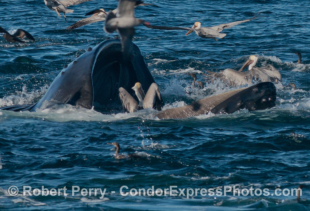 Image 2 of 2:  A two shot sequence of a humpback whale (<em>Megaptera novaeangliae</em>) opening its massive jaws to let a brown pelican escape.