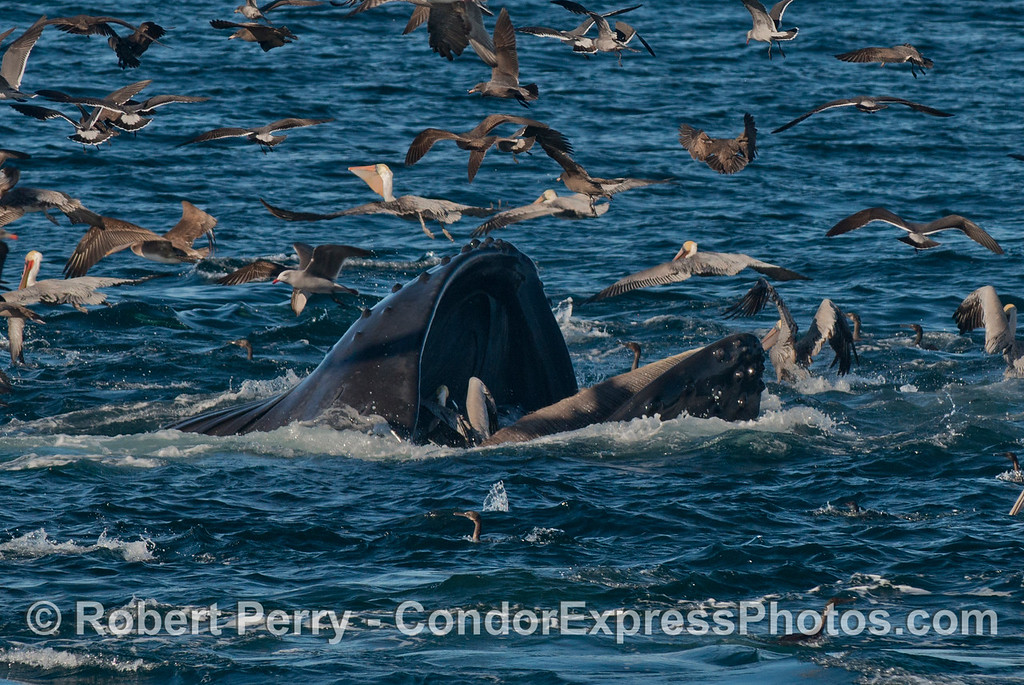 Image 1 of 2:  A two shot sequence of a humpback whale (<em>Megaptera novaeangliae</em>) opening its massive jaws to let a brown pelican escape.