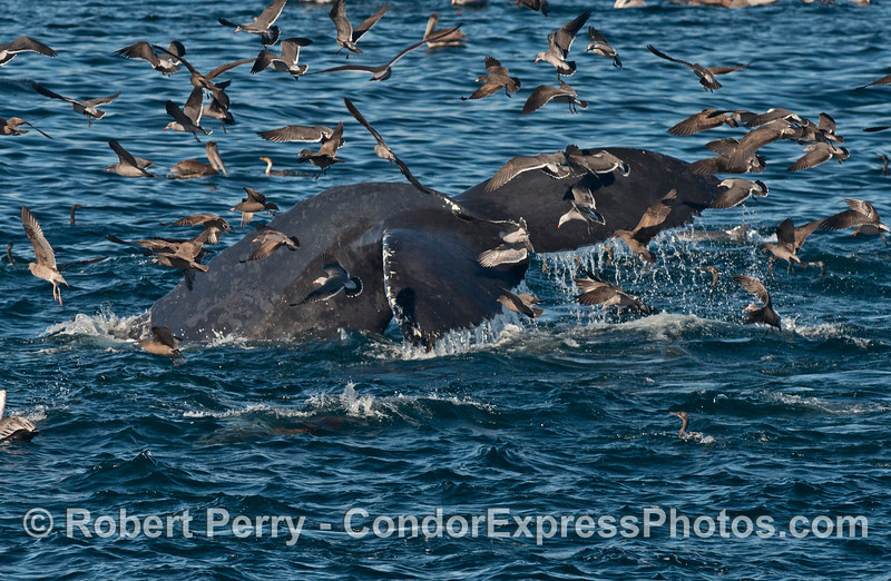 A humpback whale (<em>Megaptera novaeangliae</em>) tail masked by tons of sea birds.
