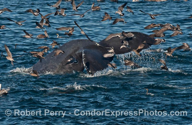 A humpback whale (<em>Megaptera novaeangliae</em>) tail masked by tons of sea birds.
