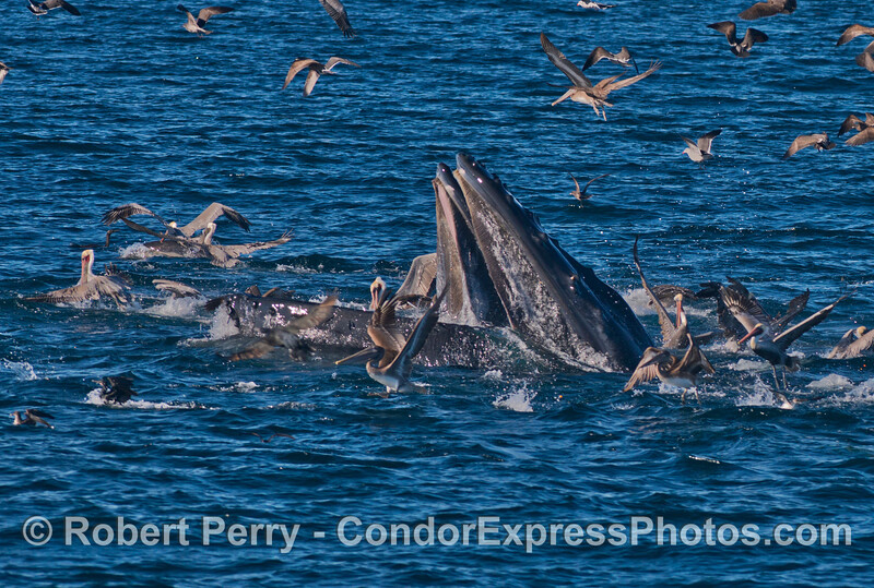 Surface lunge feeding  by two humpback whales (<em>Megaptera novaeangliae</em>).