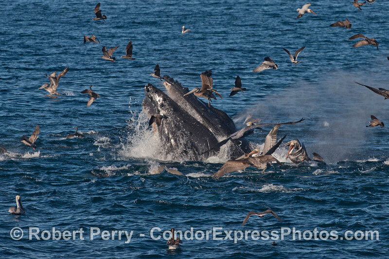 Fearless brown pelicans dive for anchovies left behind as a monster humpback whale (<em>Megaptera novaeangliae</em>) ejects water after gorging itself.