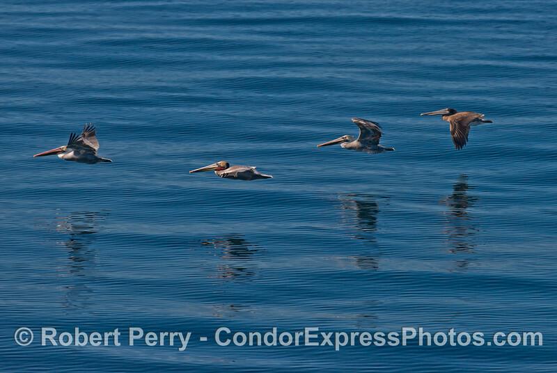 Four brown pelicans (<em>Pelecanus occidentalis</em>) in a line.