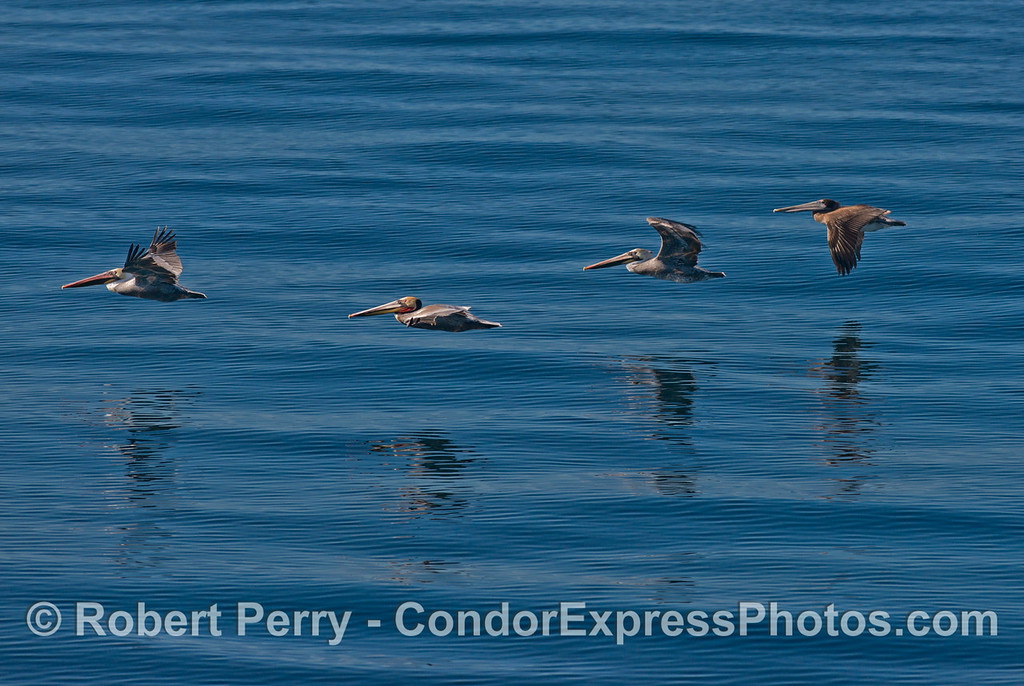 Four brown pelicans (<em>Pelecanus occidentalis</em>) in a line.