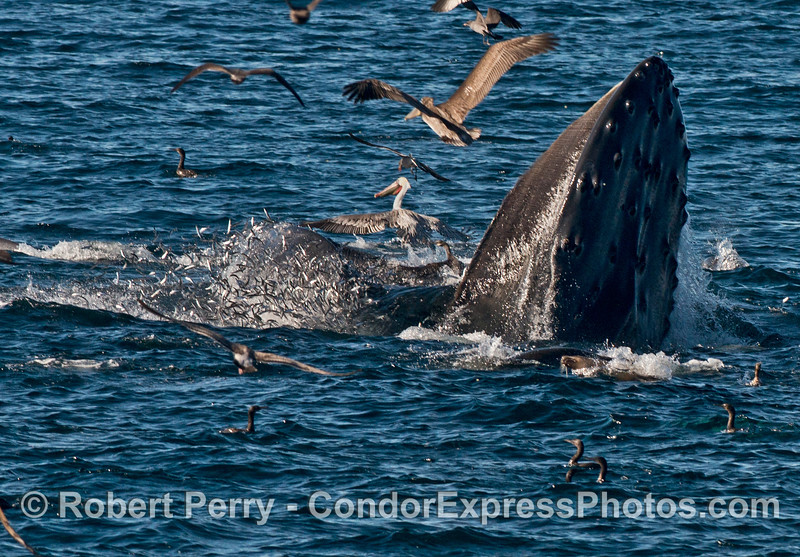 Hundreds of northern anchovies (<em>Engraulis mordax</em>) are seen spilling out of the giant jaws of a humpback whale (<em>Megaptera novaeangliae</em>) with plenty of seabirds picking up the scraps.