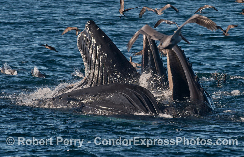 Hundreds of northern anchovies (<em>Engraulis mordax</em>) explode out of the water as they try to escape the giant jaws of \two  humpback whales (<em>Megaptera novaeangliae</em>).