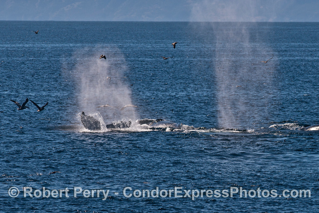 Multiple humpback whales (<em>Megaptera novaeangliae</em>) are seen feeding and spouting.