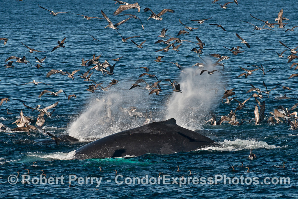 Three humpback whales (<em>Megaptera novaeangliae</em>) send up some spout spray into the brown pelican masses.